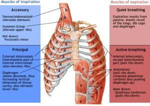 inspiratory and expiratory muscles