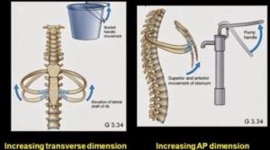 rib movements
